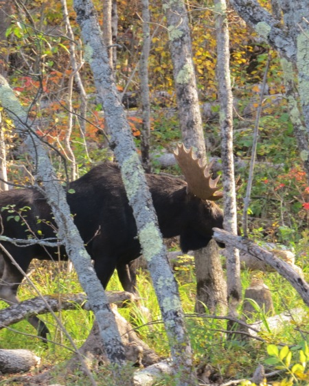 Moose, Basswood Lake, September 2014