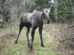 YOUNG BULL MOOSE, ISLE ROYALE