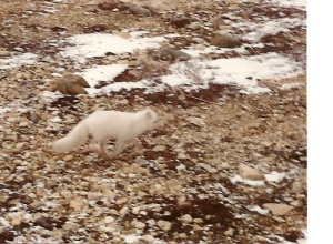 Arctic Fox, winter plumage, Churchill, Manitoba, 1992.