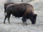BISON IN THEODORE ROOSEVELT NP