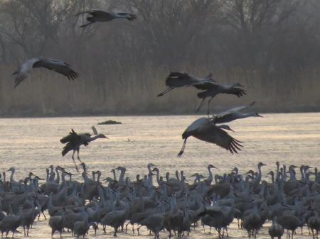 Cranes Landing at sunset, 2012
