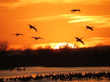 Cranes Landing in Platte, sunset, 2012