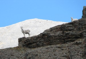 Dall Sheep, upper Aichilik River drainage.