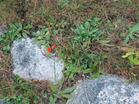 Orange hawkweed.  This is worth kneeling down to smell.