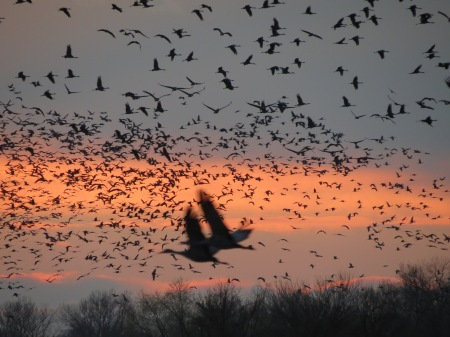The migration of Sandhill Cranes, Nebraska.