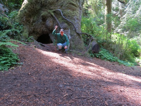 "By ""Big Tree,"" 550 years old.  The cave underneath once had a log from a fallen tree, that helped this tree grow.  It was called a ""nurse log."""