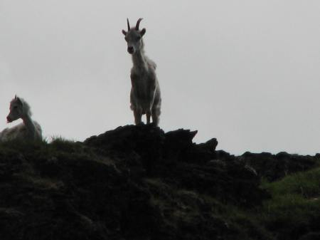 Dall Sheep, Aichilik River, ANWR, June, 2009.  Age 60. This afternoon mattered.