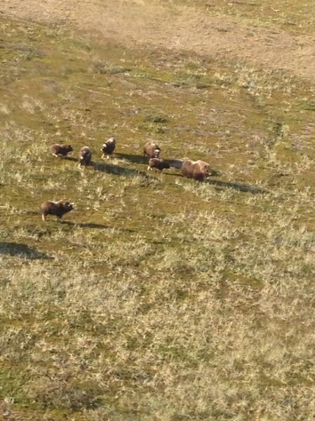 Flying over a herd of musk ox.