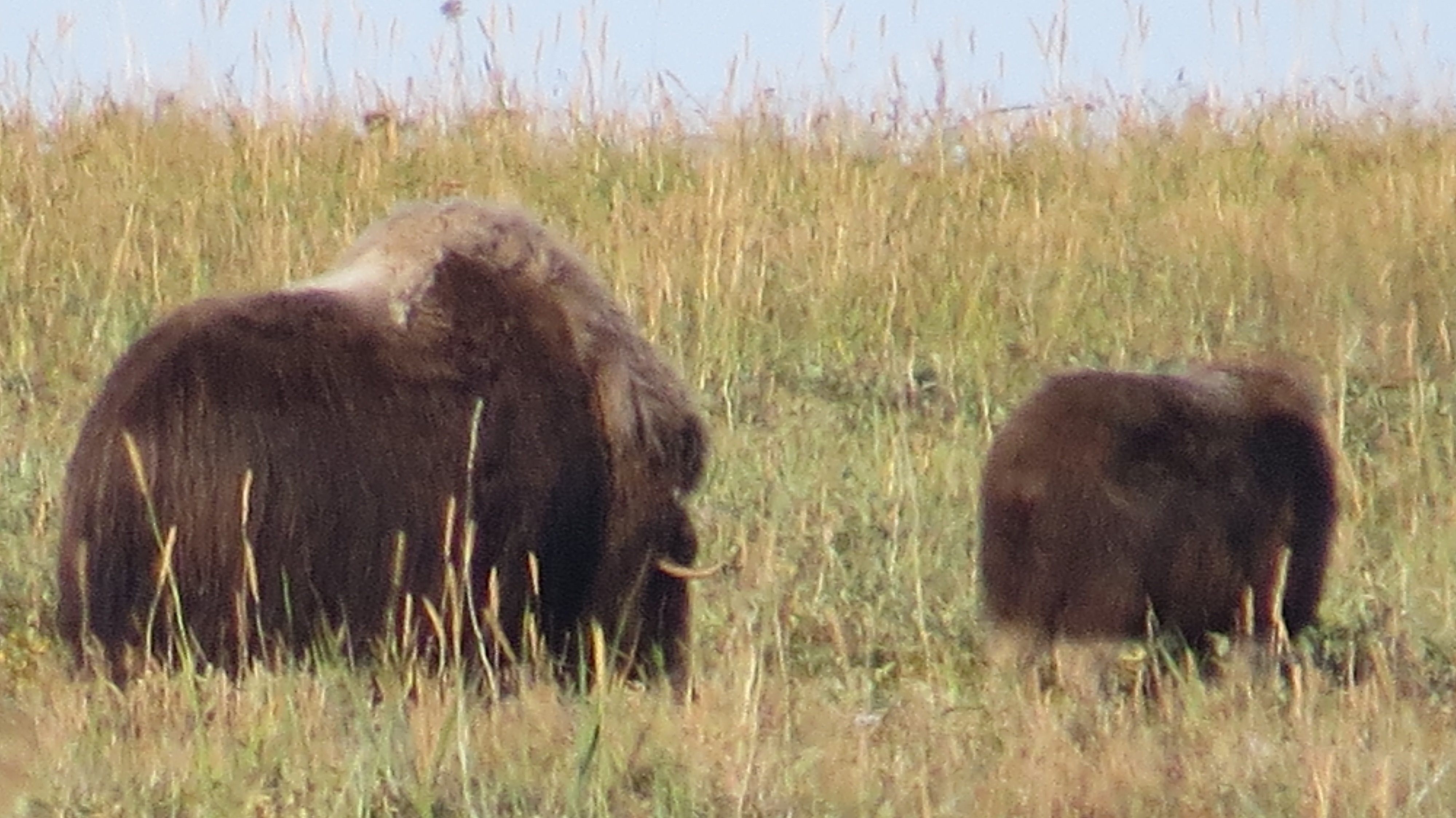 Pair of musk oxen