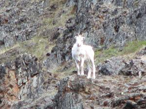 Dall Sheep, upper Aichilik River, 2009.