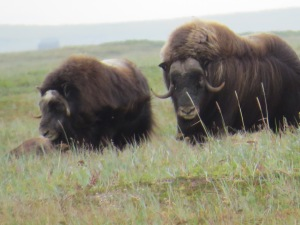Musk Oxen, Cape Kreusenstern, Alaska. July 2015.