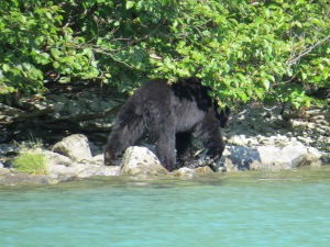 Black bear, Lake Clark, NP, Alaska