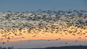 Rowe Sanctuary, Nebraska, Crane Migration, 2012. These are not uncommon sights.