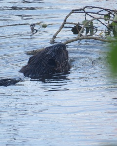 Beaver swimming back to lodge, BWCA, 2014. Basswood Lake