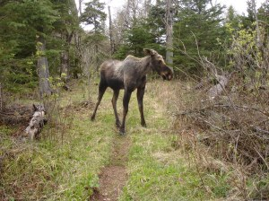 Young Moose, Isle Royale, May 2006. Too close.
