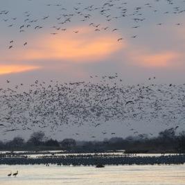 Nebraska sunset with cranes