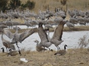 Crane dancing